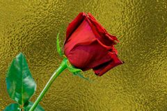 反对金背景的一朵长的词根红色玫瑰 免版税库存图片