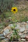 反对铁丝网的黄色沙漠花 图库摄影