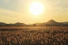 反对银色草的日落 库存图片