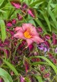 反对锦紫苏a五颜六色的叶子背景的桃红色黄花菜  库存照片