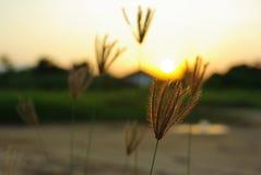 反对阳光的坚果草在日落风景弄脏了backgroun 免版税库存照片