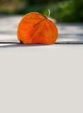 反对阳光的橙色白杨木叶子 秋天和秋季设计模板 库存图片