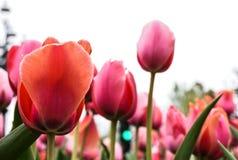 反对阴暗天空,bokeh作用的明亮的桃红色郁金香 库存图片