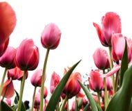 反对阴暗天空,bokeh作用的明亮的桃红色郁金香 免版税库存照片