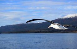 反对雪的海鸥飞行加盖了山脉如被看见从在小猎犬渠道,乌斯怀亚, Argen的游轮 库存照片