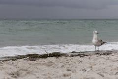 反对风暴的布朗海鸥在海减弱颜色的声音 狂放的鸟概念 在沙子海滩的海鸥在飓风天 免版税库存照片