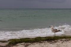 反对风暴的布朗走的海鸥在海 狂放的鸟概念 在沙子海滩的海鸥在飓风天 免版税库存图片