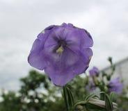 反对风雨如磐的天空的紫色吊钟花 库存照片