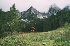 反对高山山的两头吃草的母牛 库存照片