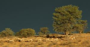 反对黑暗的天空的跳羚羚羊 股票视频
