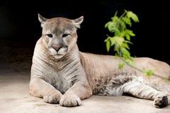反对黑暗的背景的美洲狮 免版税库存图片