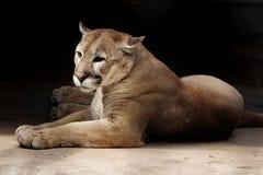 反对黑暗的背景的说谎的美洲狮 库存图片