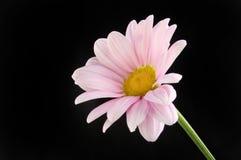 反对黑色的菊花花 库存图片