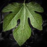 反对黑暗的单色背景的绿色无花果叶 库存照片