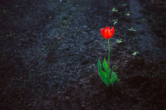 反对黑暗的地面的红色单独明亮的郁金香 寂寞,对比,生命力的概念 库存照片