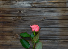 反对黑暗的木头的唯一可爱的桃红色玫瑰 图库摄影