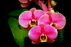 反对黑暗的背景的典雅的桃红色兰花 免版税库存图片