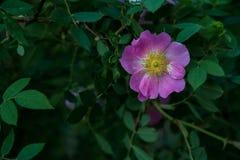 反对黑暗的背景的唯一桃红色花 图库摄影