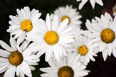 反对黑暗的背景的白花 图库摄影