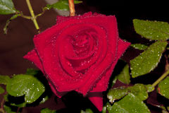 反对黑暗的背景的红色玫瑰,用水在晚上暴雨和叶子滴下放置的它的瓣 库存图片