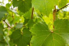 反对晴朗的天空的绿色葡萄叶子 免版税库存照片