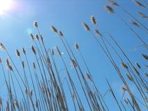 反对晴朗的蓝天的沼泽草 免版税库存照片