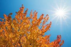 反对晴朗的蓝天的金黄秋天树上面 免版税库存图片
