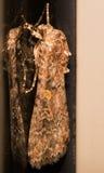反对玻璃反射的琥珀色和灰色飞蛾 免版税库存照片
