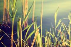 反对水的芦苇。自然背景。 库存照片