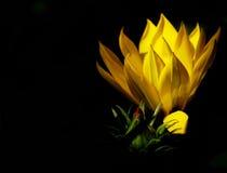 反对黑背景宏指令的黄色花阐明与阳光 免版税库存图片