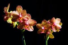 反对黑背景的多彩多姿的兰花 库存图片