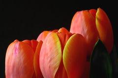 反对黑背景的橙色郁金香 免版税库存图片