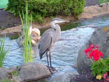 反对水背景的苍鹭姿势 库存图片