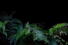 反对黑背景的绿色蕨 库存图片