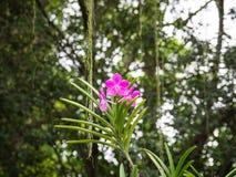 反对绿色叶子的一朵桃红色兰花 库存照片