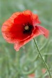 反对绿色叶子的红色鸦片特写镜头 免版税图库摄影