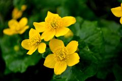 反对绿色叶子背景的三朵黄色花  图库摄影