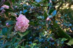 反对绿色叶子背景的桃红色山茶花花 免版税库存图片