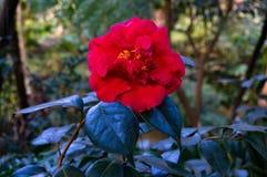 反对绿色叶子backgrou的明亮的红色被日光照射了山茶花花 库存图片