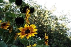 反对绿色树背景的橙色和黄色向日葵  免版税库存图片