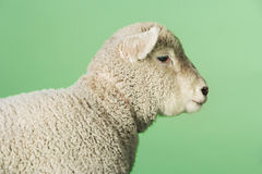 反对绿色背景的羊羔 库存照片
