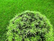 反对绿草的圆的绿色灌木修剪的花园 免版税图库摄影