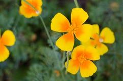 反对绿草背景的橙色eschscholzia 花菱草 图库摄影