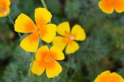 反对绿草背景的橙色eschscholzia 花菱草 库存照片