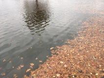 反射在有漂浮的干燥橡木叶子一个池塘的树 图库摄影