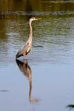 反射在池塘的伟大蓝色的苍鹭的巢 库存照片
