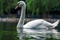 反射在湖的美丽的天鹅 库存图片