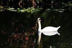 反射在湖,南佛罗里达的天鹅 免版税库存图片