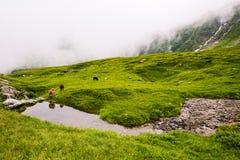 反射在高处山小河的星期一, Ram和绵羊 库存图片