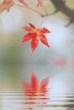 反射在水中的一片红槭叶子 免版税图库摄影